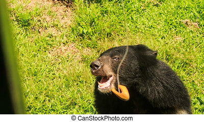 closeup black bear catches fruit from tourists eats in park...