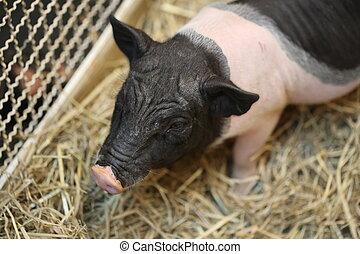 black pink pig