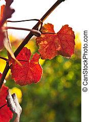 closeup, bladeren, wijnstok