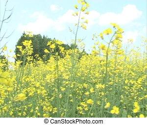 closeup bloom rape field - Closeup of blooming yellow rape...