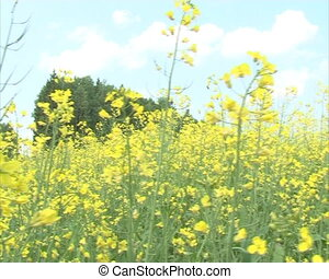 closeup bloom rape field