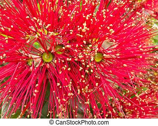 Closeup blossoms of NZ Christmas Tree Pohutukawa - Close-up ...