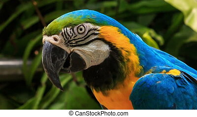 closeup blue-gold Macaw parrot turns head