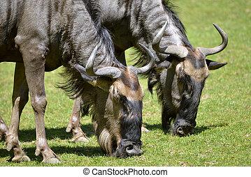 Closeup blue wildebeest grazing