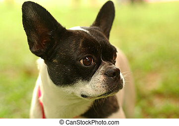 Closeup Boston Terrier - Cute Boston terrier at park.