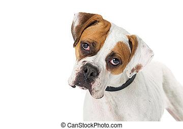 closeup, boxer, kreuzung, hund, hübsch