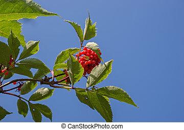 Closeup bright rowan berries on a tree