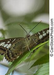 closeup brown clipper butterfly