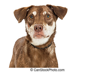Closeup Brown Crossbreed Dog Over White