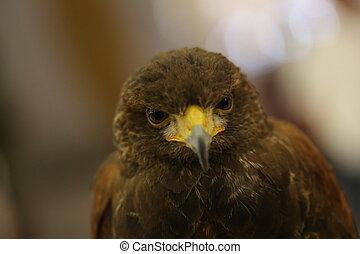 brown eagle eye
