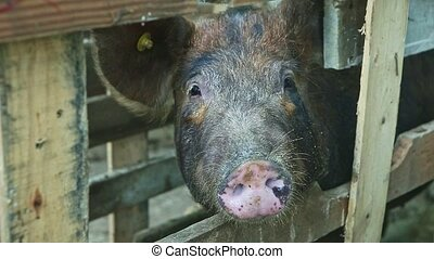 closeup brown hairy domestic pig snout looks at camera from ...