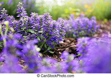"closeup, ""bugleweed"", hintergrund, groundcover, purpurne blumen, ajuga, verwischt"