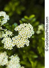 closeup, buisson, fleurir, fleurs, aubépine