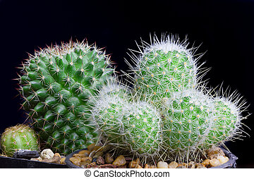 Closeup cactus isolate on black background