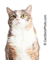 Closeup Calico Cat Looking Up