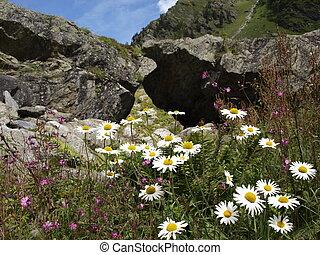 Closeup Camille flower in alpine mountains Switzerland,...