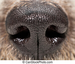 closeup, chien, nez, extrême