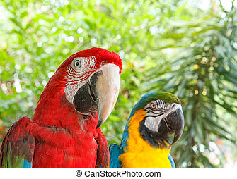 Closeup colorful couple macaws on green nature background