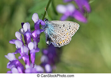 Closeup Common Blue (Polyomathus icarus) butterfly