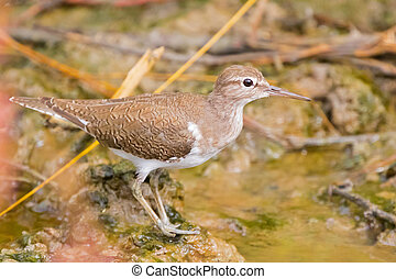 Common Sandpiper, Palearctic wading bird stands on muddy...