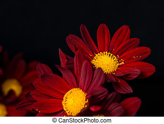 closeup composition of red velvet chrysanthemum flowers on...