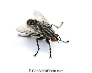 closeup, comune, mosca domestica