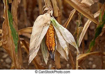 Closeup corn on the stalk in the corn field