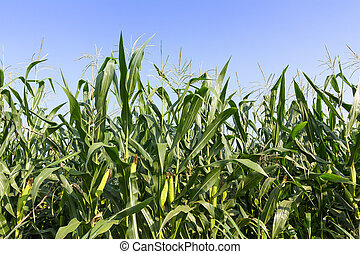 Closeup Corn on the stalk