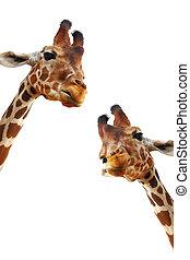 closeup, couple, fond, isolé, portrait, girafes, blanc