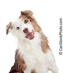 closeup, curioso, collie, borda, cão