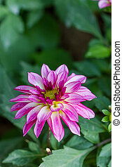 Closeup dahlia flower in garden