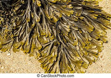 closeup, de, alga, fucus, serratus, geralmente, toothed, wrack.