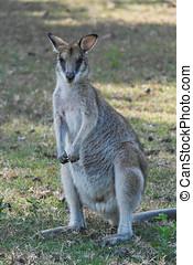 closeup, de, cute, wallaby, em, tasmânia, austrália