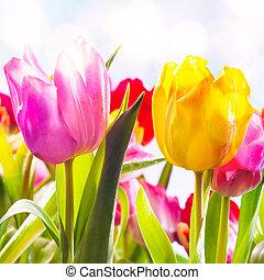 closeup, de, dois, vibrante, fresco, tulips, ao ar livre