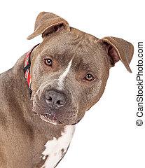 closeup, de, staffordshire terrier macho, cão