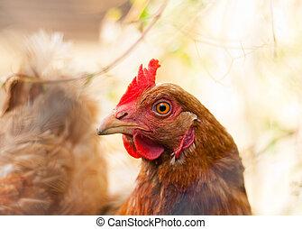 closeup, de, um, galinha, (gallus, gallus, domesticus)
