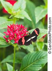 closeup, de, um, melpomene heliconius, borboleta, ligado, um, folha