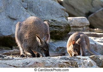 closeup, de, um, red-necked, wallaby, bebê, mãe