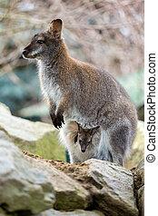 closeup, de, um, red-necked, wallaby, com, bebê