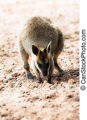closeup, de, um, red-necked, wallaby, (macropus, rufogriseus)