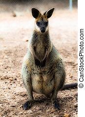 closeup, de, um, red-necked, wallaby, (macropus,...