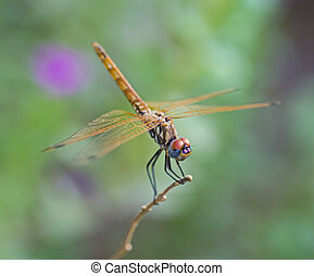 Closeup detail of red eyed dragonfly on plant stalk