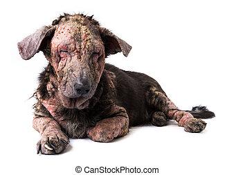 Closeup dog sick leprosy skin problem with white background