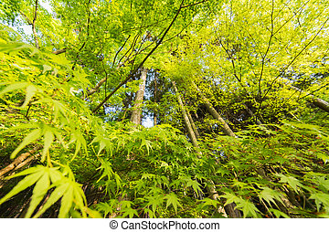 closeup emerald green maple trees.