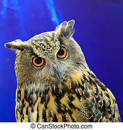 Eurasian Eagle Owl - Closeup Eurasian Eagle Owl
