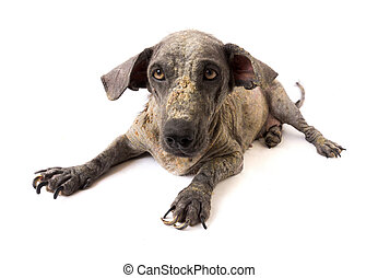 Closeup face of dog sick leprosy skin problem with white ...