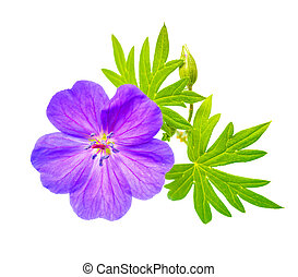 closeup, feuilles, fleurir, géranium, fond, beau, sanglant, ...