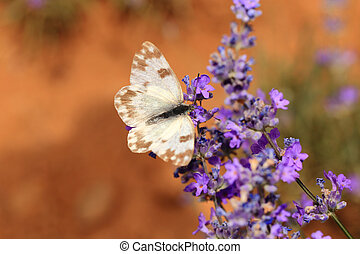 closeup, flores, borboleta, florescer, lavanda, branca