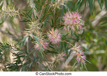 Bottle brush (Callistemon) in sweet pink color blossoming in the garden