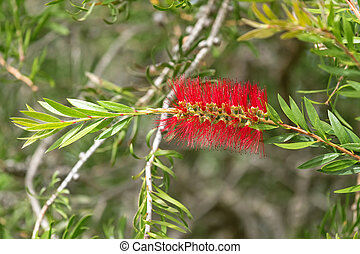 Scarlet Bottle brush (Callistemon) in red color blossoming in the garden with blurred background